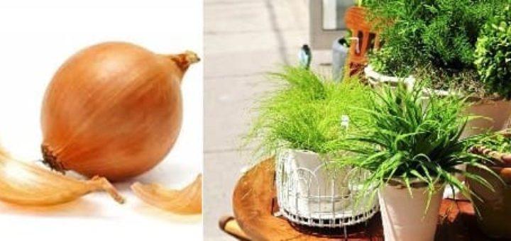 Луковая шелуха для огорода и комнатных растений