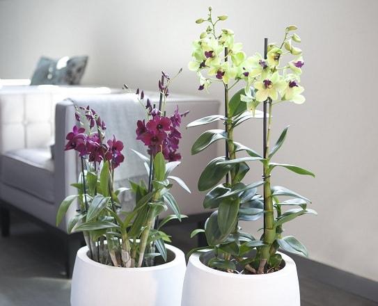 Мучнистый червец - как спасти орхидеи (1)