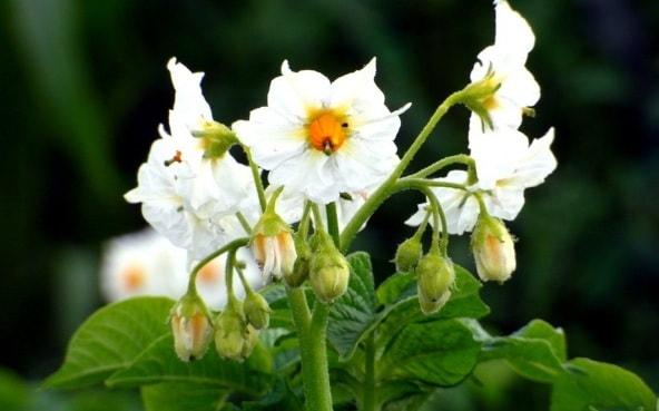 Секрет использования цветков картофеля (2)