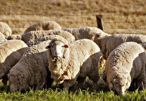 Достоинства и недостатки мериносовой шерсти (2)