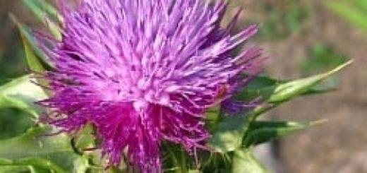 Масло расторопши – природная поддержка печени и сильный иммунитет (3)