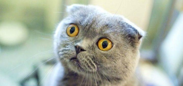 Уход за кошками британцами (1)