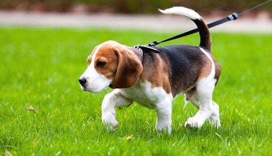 Как приучить собаку к улице (1)