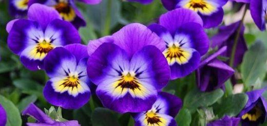 Цветы виола или садовые фиалки. Особенности ухода (2)